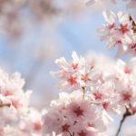 さくらんぼでも桜の葉の香りは出る?海外で桜の葉の塩漬けに挑戦!
